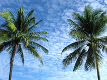 Tropical climate. Coconut palm trees. Stock Photo