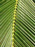 Tropical Close Up. Close up of a green tropical palm tree Royalty Free Stock Image