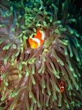 Tropical clown fish Royalty Free Stock Image