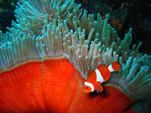 Tropical clown fish. Tropical finding nemo clown fish photo from a scuba diving ecotourism adventure on a pristine coral reef Stock Photos