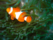 Tropical clown fish Stock Photos