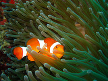 Tropical clown fish Stock Images