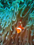 Tropical clown fish Royalty Free Stock Photography