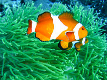 Tropical clown fish Royalty Free Stock Images