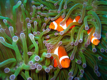 Tropical clown fish family. Tropical finding nemo clown fish photo from a scuba diving ecotourism adventure on a pristine coral reef Stock Photography