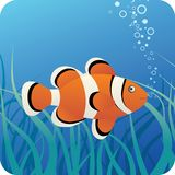 Tropical clown fish under water. Clown fish on the blue underwater background with algae Stock Photos