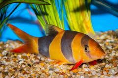 Tropical clown loach fish Royalty Free Stock Photos