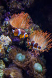 Tropical clownfish swims near coral reef Royalty Free Stock Photos
