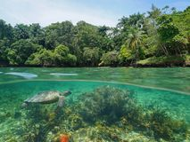 Tropical coast coral and sea turtle Caribbean. Over and under sea surface, lush tropical coast with coral and a green sea turtle underwater, Caribbean sea Royalty Free Stock Photos
