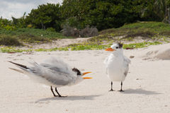 Tropical coastal birds Royalty Free Stock Photography