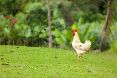 Tropical cock Royalty Free Stock Images