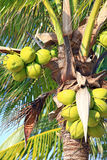 Tropical coconut Stock Photography