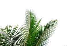 Tropical coconut  leaves with branches on white isolated background for green foliage backdrop. Tropical tree leaves branches white isolated background green royalty free stock images