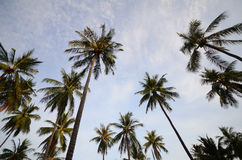 Tropical Coconut Palm Royalty Free Stock Photography