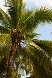 Tropical coconut palm closeup on blue sky Stock Photo