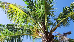 Tropical coconut palm tree, amazing island Bali, Indonesia. Tropical coconut palm tree, amazing island Bali stock video footage