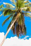 Tropical coconut palm tree in Seyshelles Royalty Free Stock Photos