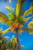 Tropical coconut palm tree with yellow coconut Royalty Free Stock Photo