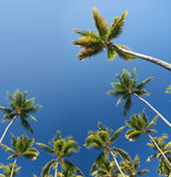 Tropical Coconut Palm Trees Background Stock Image