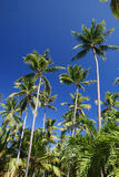 Tropical Coconut Palm Trees Background Royalty Free Stock Photography