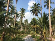 Tropical palm trees along the path and blue sky. Sunny day. Koh Kood Thailand Stock Photography