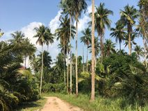 Tropical palm trees along the path and blue sky. Sunny day. Koh Kood Thailand. Tropical coconut palm trees and blue sky. Sunny day. Koh Kood Thailand stock image
