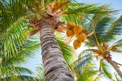 Tropical coconut palm trees in Caribbean. Mexico Royalty Free Stock Photography