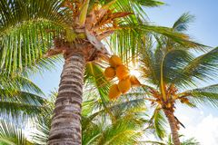 Tropical coconut palm trees in Caribbean. Mexico Stock Image