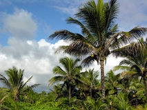 Tropical Coconut Palms Royalty Free Stock Photos