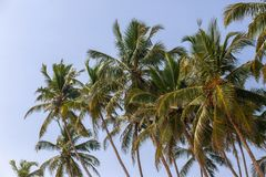 Tropical coconut palms on the beach in Sri Lanka. Sunny sky background stock images