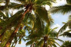 Tropical coconut palms on sunny blue sky Stock Photography