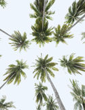 Tropical coconut trees, worm's eye view. Picture of coconut trees from the worm's eye view stock photos