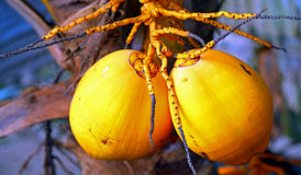 Tropical coconuts Stock Image