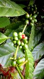 Tropical coffee seeds Stock Image