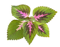 Tropical Coleus Plant Isolated Stock Photo