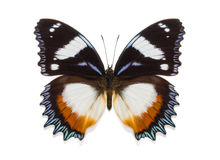 Tropical collection butterfly Hypolimnas dexithea Stock Photos