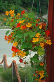 Tropical Color from Alaska. Flowers hanging in Skagway, Alask Stock Photo