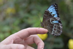 Tropical colorful butterfly closeup picture on a hand. Royalty Free Stock Photo