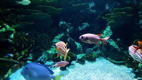Tropical colorful fish behind aquarium glass in zoo shop. Underwater life, tropical fauna, ocean inhabitants stock footage