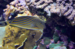 Tropical colorful fish Royalty Free Stock Photography