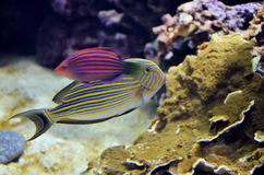 Tropical colorful fishes royalty free stock photo