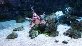 Tropical colorful lion fish swimming among reefs behind aquarium glass in zoo. Underwater life, tropical fauna, ocean inhabitants stock video footage