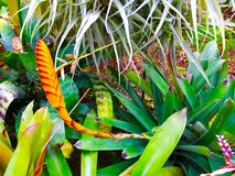 Tropical Colors. Beautiful tropical plant in full bloom Royalty Free Stock Images
