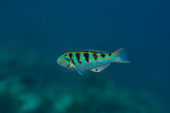 Tropical colourful fish swimming underwater at indian ocean at Maldives Stock Images