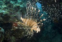 Tropical Common Lionfish. Royalty Free Stock Photos