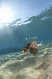 Tropical Common lionfish in clear, shallow water. Royalty Free Stock Image