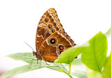Tropical Common Morpho butterfly Royalty Free Stock Photography
