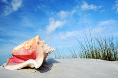 Tropical Conch Royalty Free Stock Photography