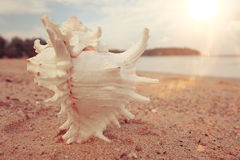 Tropical conch on  sandy beach Stock Images