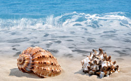 Tropical Conch shells Royalty Free Stock Photos